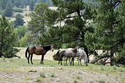 Wild Mustangs Posters - Who is Looking at Us Poster by Ken Smith
