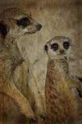 Meerkat Posters - Who is that Poster by Kathryn Potempski