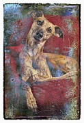Whippet Dog Framed Prints - Who me Framed Print by Danilo Piccioni