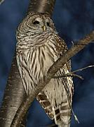 Owl Metal Prints - Who Metal Print by Peter Gray