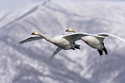 Swan In Flight Posters - Whooper Swan Cygnus Cygnus Pair Flying Poster by Konrad Wothe