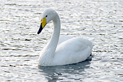 Yellow Beak Photos - Whooper Swan by Denise Swanson