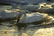 Bathing And Grooming Framed Prints - Whooper Swans Bathing In Early Morning Framed Print by Tim Laman