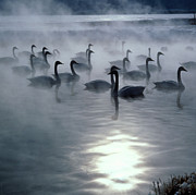Water Vapor Prints - Whooper Swans Print by Teiji Saga and Photo Researchers