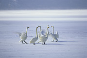 White Snow Acrylic Prints - Whooper Swans Vocalize On Frozen Lake Acrylic Print by Tim Laman