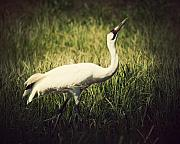Strut Photos - Whooping Crane 1 by Al  Mueller
