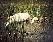 Strut Photos - Whooping Crane 2 by Al  Mueller