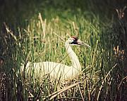 Strut Photos - Whooping Crane 3 by Al  Mueller