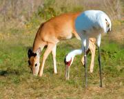 Whooping Crane Framed Prints - Whooping Crane and Deer Framed Print by Sally Mitchell