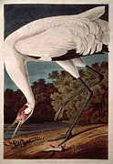 Wild-life Framed Prints - Whooping Crane Framed Print by John James Audubon