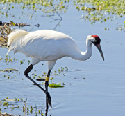 Whooping Crane Framed Prints - Whooping Crane Framed Print by Kenneth Albin