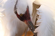 Cranes Photo Framed Prints - Whooping Crane Preening Framed Print by Bruce J Robinson