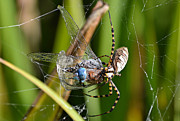Dragonfly Caught In Spiders Web Framed Prints - Wicked Web Framed Print by Fraida Gutovich