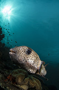 Osteichthyes Framed Prints - Wide-angle Image Of Pufferfish, Raja Framed Print by Todd Winner