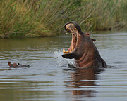 Hippopotamus Metal Prints - Wide Open Metal Print by Tony Beck
