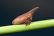 Westchester County Posters - Widefooted Treehopper II Poster by Clarence Holmes