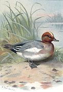 Bird Drawing Posters - Widgeon, Historical Artwork Poster by Sheila Terry
