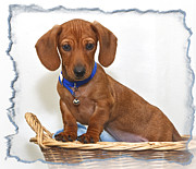 Pooch Framed Prints - Wiener Puppy Framed Print by Susan Candelario