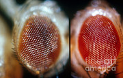 Vinegar Posters - Wild & Brown Eyed Drosophila Poster by Science Source