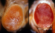 Vinegar Prints - Wild & White-eosin Eyes In Drosophila Print by Science Source