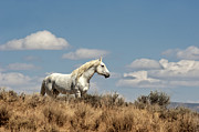 Wild Horses Posters - Wild and Free Poster by Heather Swan