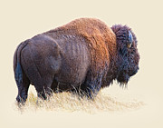 Bison Digital Art - Wild and Wooly by Dewain Maney