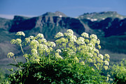 High Peaks Posters - Wild Angelica Poster by James Steinberg and Photo Researchers