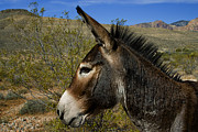 Burro Metal Prints - Wild At Heart Metal Print by Stephen Campbell