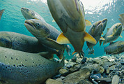 Portraits Of Animals Prints - Wild Atlantic Salmon Make Their Way Print by Paul Nicklen