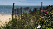 Crooked Fence Posters - Wild Beach Rose - Cape Cod Poster by Thomas Schoeller