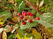 Black Berries Metal Prints - Wild Berries Metal Print by Liz Vernand
