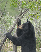 Black Bear Photos - Wild Black Bear by Ernie Echols