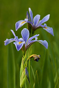 Nature - Wild Blue Flag Iris by Dale Kincaid