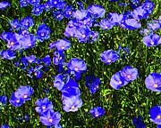 Blue Flowers Posters - Wild Blue Poster by Terril Heilman