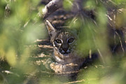 Bobcat Photos - Wild bobcat by Cristina Lichti