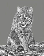 Bobcat Art Framed Prints - Wild Bobcat Framed Print by Larry Linton