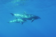 Wild Bottle-nosed Dolphin Mother And Calf Print by Sami Sarkis