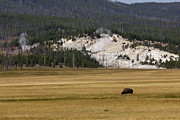 Dustin K Ryan - Wild Buffalo Yellowstone...