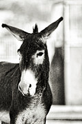Poirtrait Framed Prints - Wild Burro Portrait B and W Framed Print by Linda Phelps
