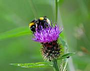 Busy Photo Originals - Wild Busy Worker Bumble Bee on a Thistle Flower by Chris Smith