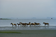 Groups Of Animals Metal Prints - Wild Chincoteague Ponies Run Metal Print by Medford Taylor