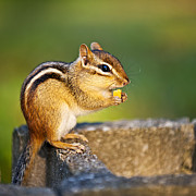 Nuts Prints - Wild chipmunk  Print by Elena Elisseeva