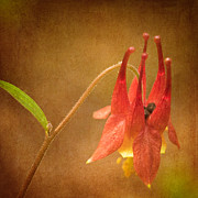Wild Red Columbine Art - Wild Columbine by Lisa McStamp