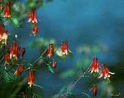 Spring Flowers - Wild Columbines 201A by Gerry Gantt