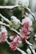 Snow Scenes Metal Prints - Wild Currant Blossoms Ribes Sanguineum Metal Print by Sylvia Sharnoff