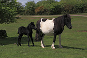 Grazing Horse Posters - Wild Dartmoor Pony Mare And Her Young Foal Poster by Anthony Collins