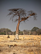 Baobab Posters - Wild Dogs And Baobab Tree Poster by Gualtiero Boffi