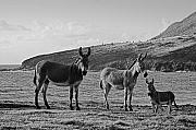 Donkeys Prints - Wild Donkeys-St Lucia Print by Chester Williams