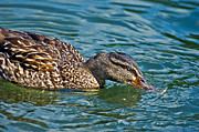 Wild Duck Print by Susan Leggett