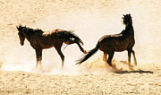 Wild Horses Framed Prints - Wild dust Framed Print by Alistair Lyne